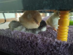 chicks under heater